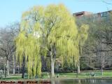 Weeping Willow, Early Spring, Boston Public Gardens