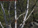 Spring Birch Study, Danvers, Massachusetts
