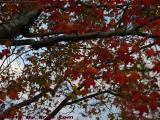 Changing Leaves, Onset of Fall Foliage, Peabody, Mass.