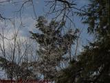 Icy Trees on Partly Cloudy Sky, Groveland, New York