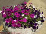 Shades of Purple, Medford Square Flower Plantings