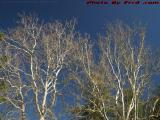 Bare Spring Trees on Blue Sky, Island Park, Wellsville