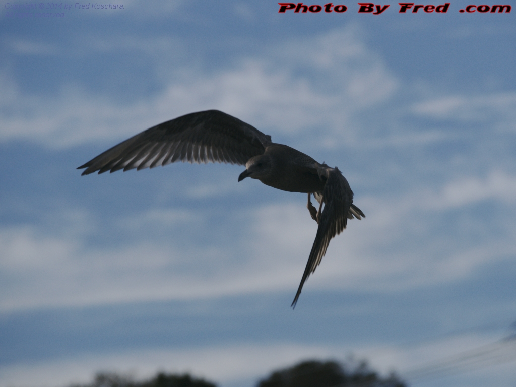 Gull Swooping In For The Kill, Marblehead, Massachusetts, photo by Fred Koschara, displayed Sept. 10, 2014 on PhotoByFred.com